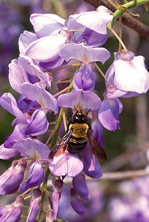 A bumble bee on purple flowers