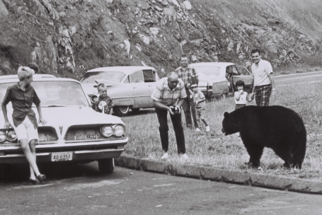 Circa 1960s photo of visitors leaving their parked cars to approach a bear to take pictures.