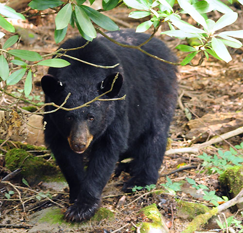 Bear Safety - Blue Ridge Parkway (U S  National Park Service)