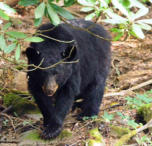 A black bear standing under a rhododendron bush