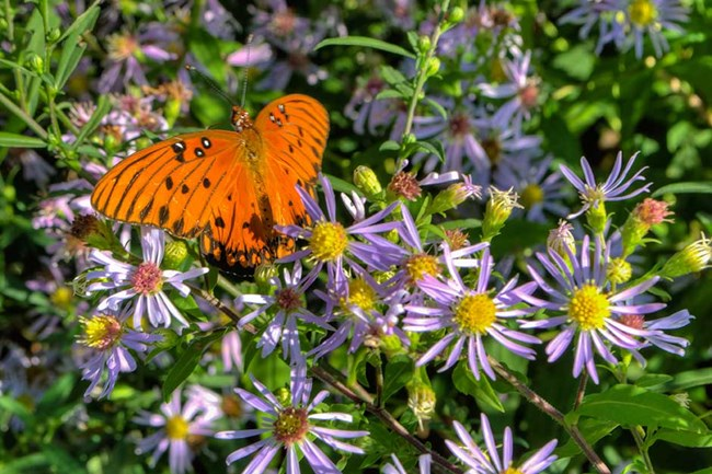 An butterfly with black-spotted, orange wings perches on some purple aster flowers