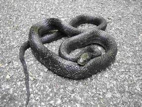 Black Rat Snakes are just one of the 22 species of snakes found along the Parkway