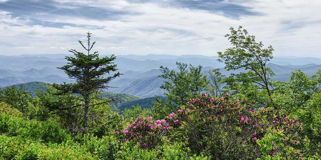 Bright pink Catawba rhododendron blooming in the foreground, with mountain ridges stretching off into the distance in the background