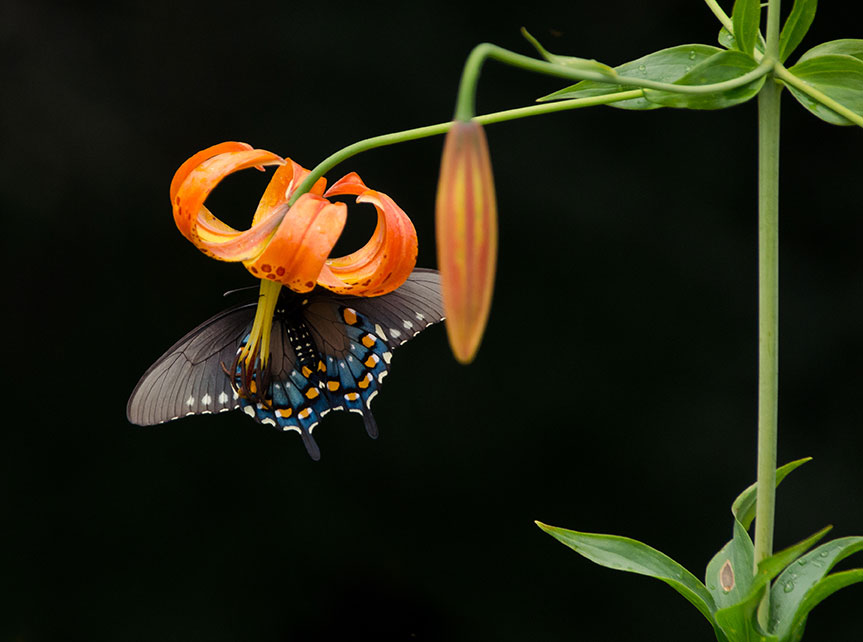 A dark gray butterfly with blue and orange spots hangs on a bright orange Turk's Cap Lily flower