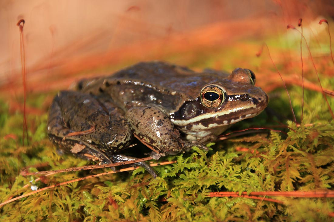 A woodfrog rests on a bed of moss at the edge of a pond