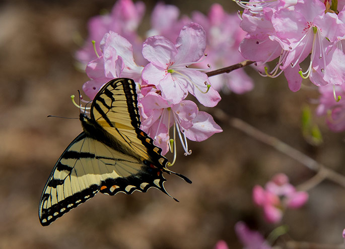 A yellow and black striped butterfly on a pink azalea flower