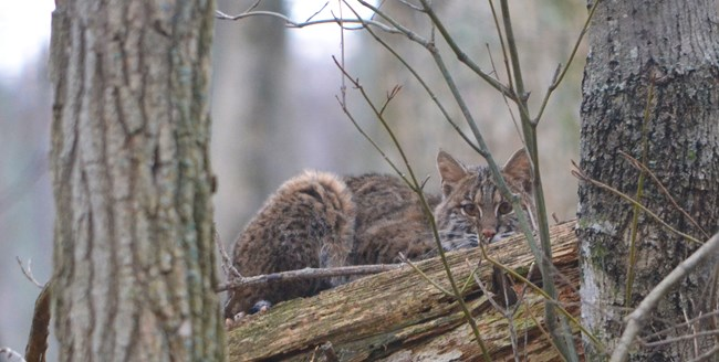 A bobcat lying on a log in the forest