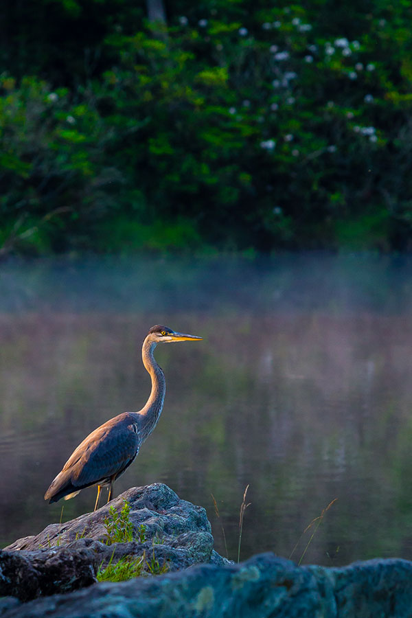 A great blue heron stands on a rock beside a mist-shrouded pond