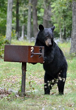 A bear investigates a grill in a campground