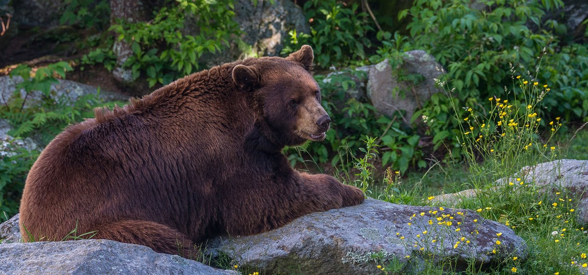 A bear lying on rocks at the edge of a forest
