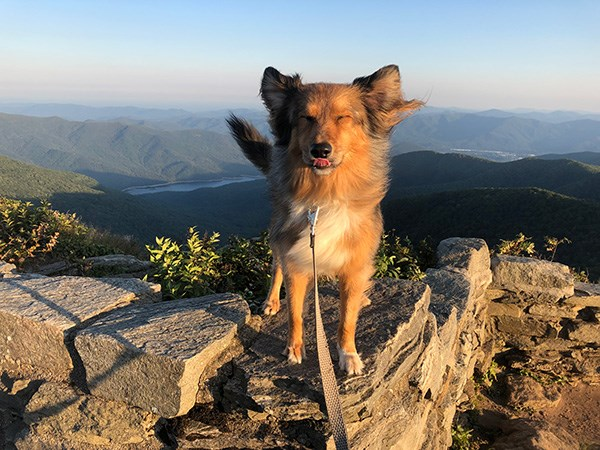 A leashed dog stands on the summit of a mountain with the wind blowing in its fur.