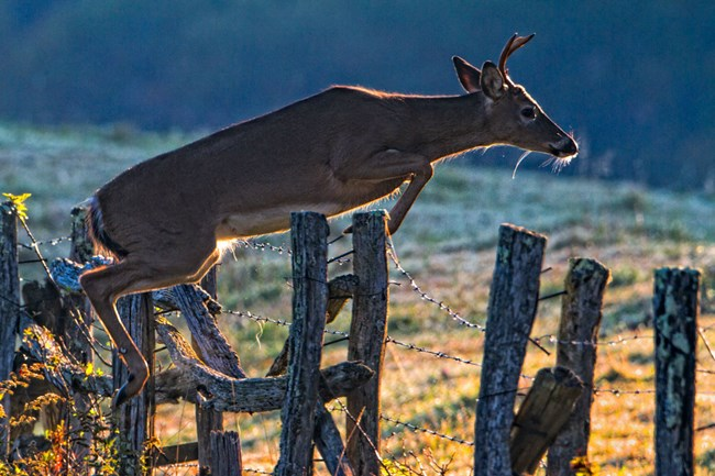 Deer jumping over wood fence along Parkway.
