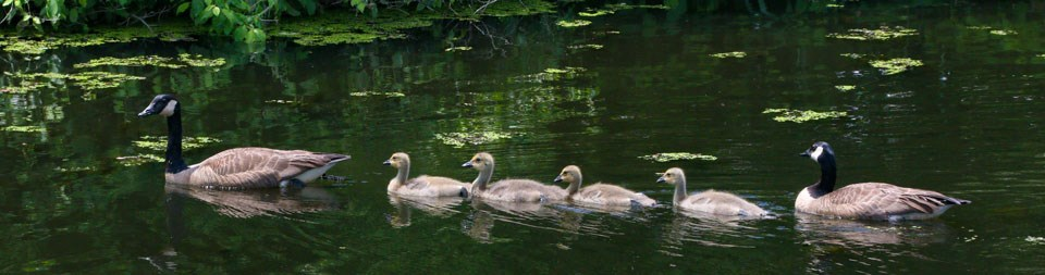 Family of geese swimming in the Blackstone River.