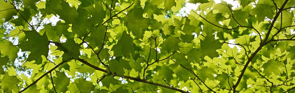 Sun shining through maple leaves