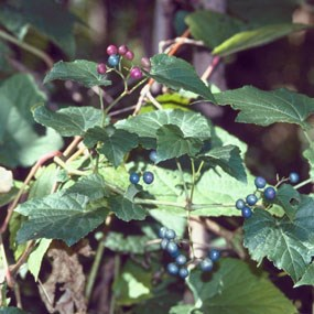 amur peppervine