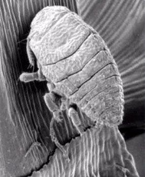 woolly adelgid
