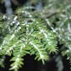 wooley adelgid on hemlock needles
