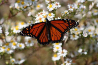 Monarch butterfly on Lovells Island