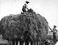 Workers on salt marsh haystack