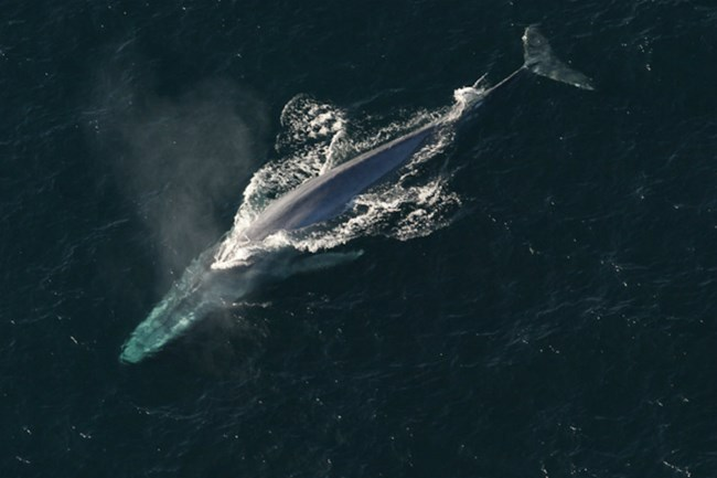 View from above of blue whale breaching