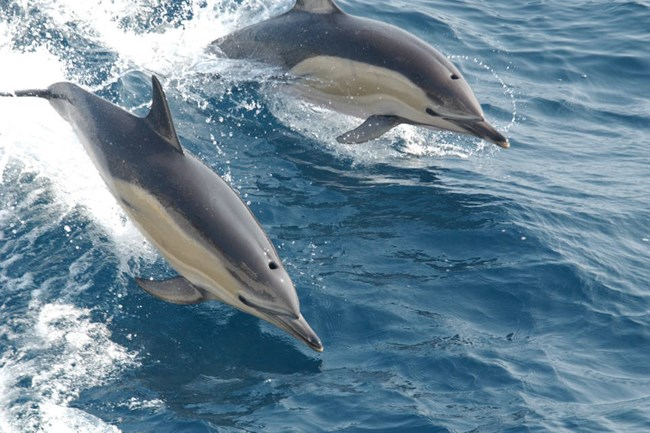 two common dolphins jumping out of the ocean