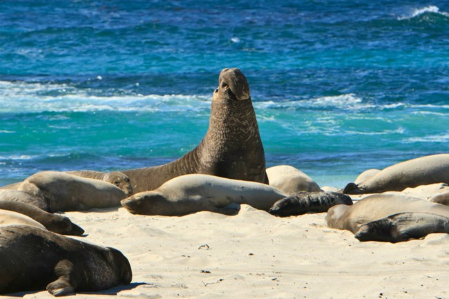 male elephant seal on beach surrounded by female elephant seals