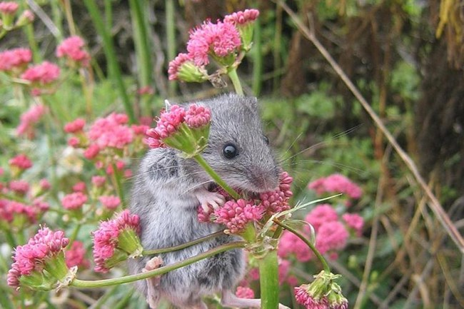Grey mouse hanging on to plant with green stems and pink flowers