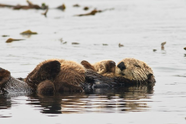 Sea otter holding cub while floating on the ocean surface