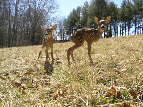 fawns standing in upper field across from visitor center