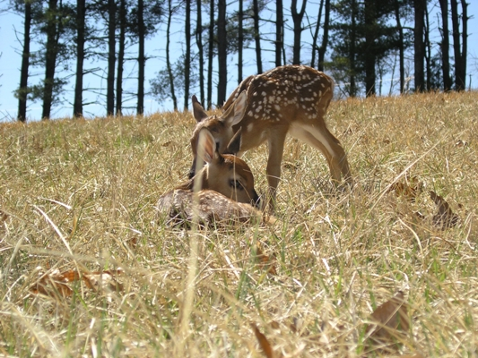 Spring 2013- white tail fawns laying down & standing