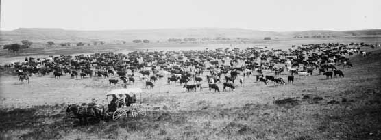 Old Time Cattle Drive, 1905
