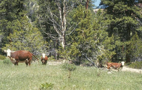 Trespass cattle in the Riggs Spring Area of Bryce Canyon