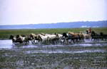 Wild Horses being herded during the annual Assateague Round up at Assateague Island National Seashore.
