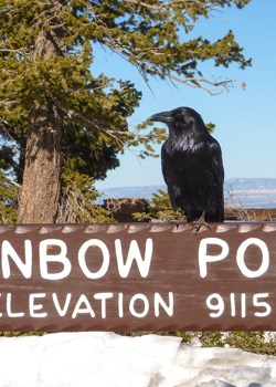 Raven at Rainbow Point.