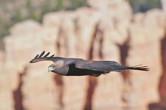 Golden Eagle in flight over Bryce Canyon