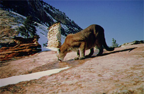 Mountain Lion licking the snow melt from the hard rock surface