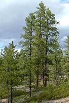 Ponderosa Pine Bryce Canyon National Park U S National