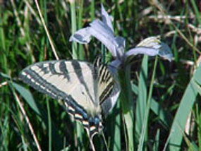 Western Tiger Swallowtail visits an Iris in a meadow of Bryce Canyon