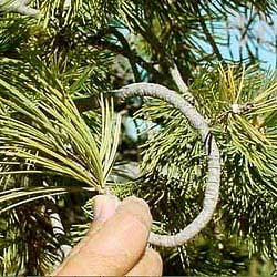 Limber Pine Branch being bent into a knot