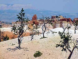 Bristlecone Pine dot the landscape at Bryce Canyon