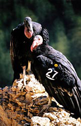 Pair of Condor, resting on a rock outcropping (number 27 on wing of Condor in foreground)