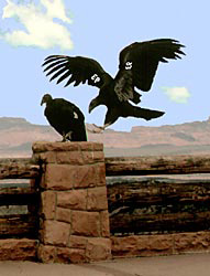 Two California Condors, one on a railing at a viewpoint. A second condor is preparing to land near the first.