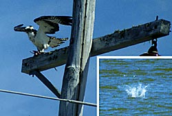 Osprey perched on telephone pole, with an inset of an Osprey splasing in a body of water after food.