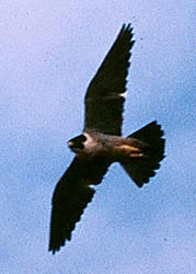 Peregrine Falcon in flight as seen from below, showing an impressive wingspan, with blue sky in background