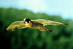 Peregrine in flight with wings spread, blurred trees and sky in background