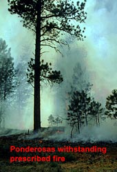 Ponderosa Pines withstanding a prescribed fire