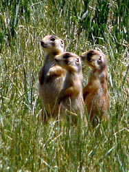 Three Prairie Dogs standing together in a meadow, like Meerkats, keeping a wary eye out for predators.