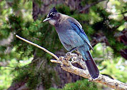 Steller's Jay sitting on a branch of a tree, with a craw full of food.