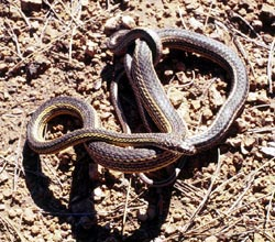 Striped Whipsnake coiled and writhing