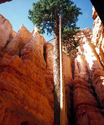 A Douglas-fir growing amongst the rocks of Wall Street Trail at Bryce Canyon National Park